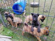 Malinois Belgischer Schäferhund - X - Herder -