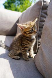 Perser Maine Coon Mix Kitten
