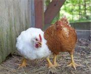 Masthähnchen Eier braune weidemasthähnchen weiße