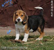 Lebhafte Beagle Welpen