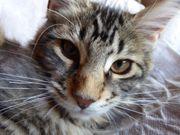 Maine Coon Kitten Kater Kätzchen