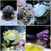 Meerwasser Algenschnecken Turboschnecken Einsiedler