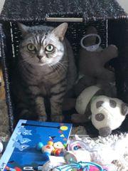 British Kurzhaar Katze zu verschenken