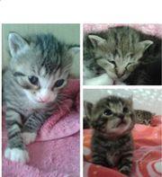 Allerliebste Katzenbabys suchen nette Familie