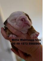 Nette englische Bulldoggenwelpen verfügbar