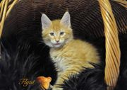 Maine Coon Kater Flynt red