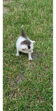 Mischlings Katze