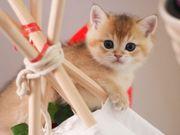BKH Kitten reinrassig Junge male