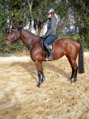 Vielseitigkeitspferd zu verkaufen