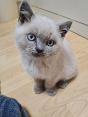 Bkh kitten suchen einem neuen