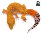 Leopardgecko Mandarine Tangerine Weibchen ID