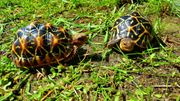 Liebenswertes Sternschildkröten Pärchen in Not
