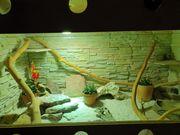 Bartagame mit Terrarium