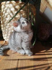 BKH Silver Tabby Kitten nur