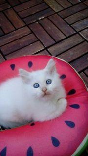 Heilige Birma Kitten Kater Red