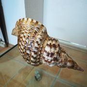 Echte Riesen Muschel