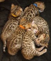 Süße Bengal-Kitten