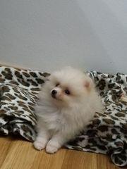 Mini Pomeranian Welpe