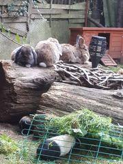 3 Kaninchen-Böcke