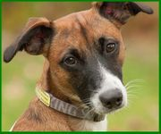 Herr Mexx - Fox Terrier - 1