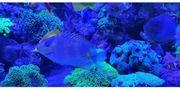 Meerwasser Siganus guttatus - Gefleckter Kaninchenfisch