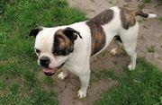 Ametikanische Bulldogge