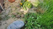 Breitrandschildkröten NZ2020 Testudo marginata