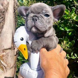 Franzosische Bulldoggen Welpen In Munchen Hunde Kaufen Und Verkaufen Uber Private Kleinanzeigen