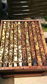 Verkaufe Carnica Bienen Ableger auf