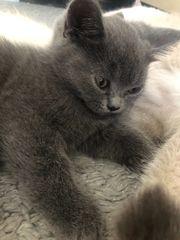 BKH Kitten Britisch Kurzhaar Katzen