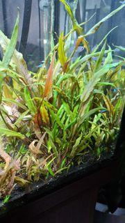 Aquarienpflanzen in Vitro