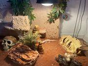 Terrarium mit 3 Leopardgeckos