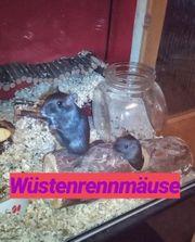 Mäuse Ratten Gerbils