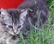 Wunderschöne verschmuste BKH Mix Katzenbabys