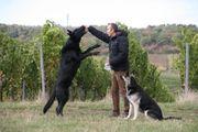 Osteuropäischer Schäferhund Deckrüde