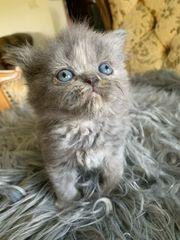 wunderschöne Perser Kätzchen mit Nase