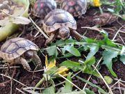 28 Schildkröten Nachzuchten von 2020