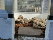 Griechische Landschildkröte 2014