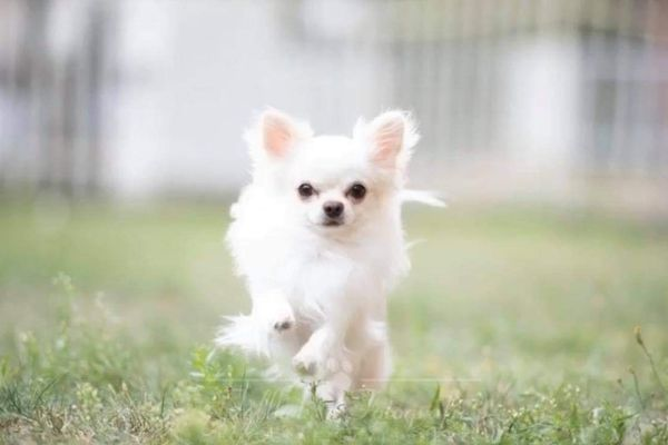 Traumhaft schöner Chihuahua Deckrüde