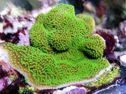 Korallenableger- Montipora hoffmeisteri