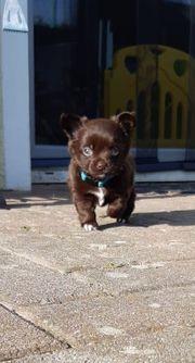 Reinrassige Chihuahuawelpen mit Ahnentafel