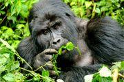 An Amazing Gorilla Safari Experience