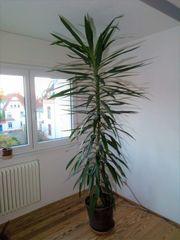 große Yucca-Palme --- ein Prachtstück