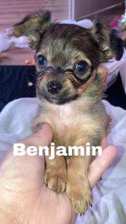 Chihuahua Rehpinscher Mix