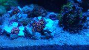 Zoanthus Alien Antivenom Koralle Anemone
