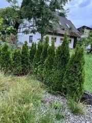Thujen Smaragd Säulenthujen