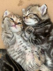 BKH-Mix Kitten