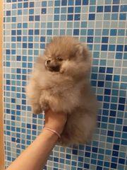 Ein wunderschönes Pomeranian Mädchen mini