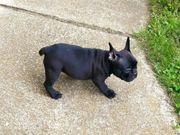 Französischen Bulldoggen