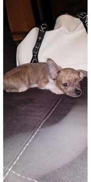 Chihuahua Welpe Mini Kurzhaar Hündin